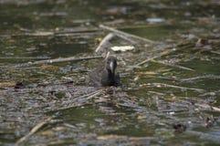 Młody Purpurowy Swamphen zdjęcie stock