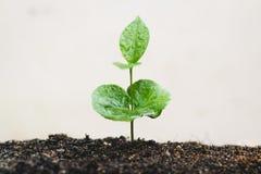 Młody ręki rośliny kawowego drzewa save światu pojęcie Obraz Royalty Free