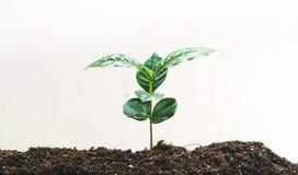 Młody ręki rośliny kawowego drzewa save światu pojęcie Zdjęcia Stock