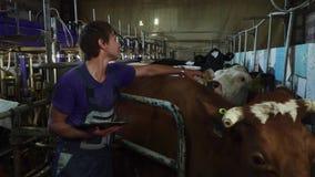 Młody robotnik rolny muska krowy w cowshed zbiory wideo