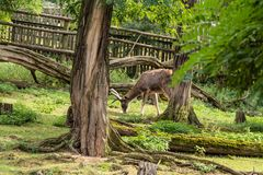 Młody rogacz je soczystej trawy zdjęcie royalty free