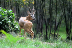 Młody rogacz w lesie zdjęcia royalty free
