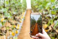 Młody rolnik obserwuje niektóre fotografii melon segregującego w telefonie komórkowym, Eco organicznie nowożytny mądrze gospodars zdjęcia stock