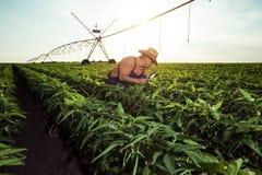 Młody rolnik w pieprzowych polach obrazy royalty free