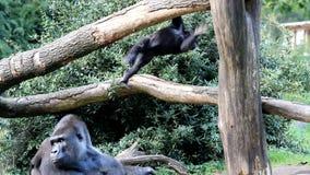 Młody rozdrapywanie goryl zdjęcie wideo