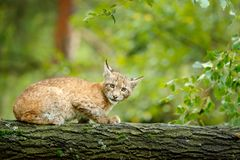 Młody ryś w zielonej lasowej przyrody scenie od natury Chodzący Eurazjatycki ryś, zwierzęcy zachowanie w siedlisku Lisiątko dziki zdjęcia royalty free
