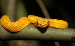 Młody rzęsy pitviper w Costa Rica Fotografia Royalty Free