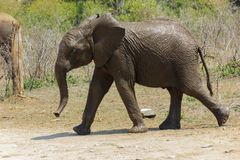 Młody słoń świeży od podlewanie dziury obrazy royalty free