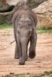 Młody słoń zdjęcia stock