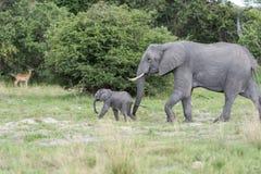 Młody słoń Obraz Stock