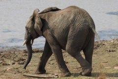 Młody słoń Zdjęcia Royalty Free