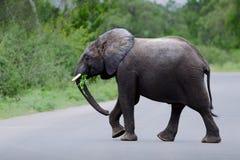 Młody słoń krzyżuje drogę Fotografia Royalty Free