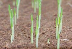Młody słodkiej kukurudzy rozsady dorośnięcie Obrazy Royalty Free