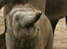 młody słoni Obrazy Royalty Free