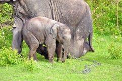 Młody słonia dobro obok dorosły jeden fotografia stock