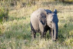 Młody słonia odprowadzenie przez afrykanina Bush Obraz Royalty Free