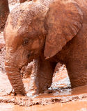 Młody słonia odprowadzenie w błotnistej wodzie Zdjęcia Royalty Free