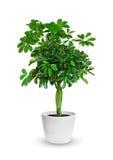 Młody Schefflera doniczkowa roślina odizolowywająca nad bielem Fotografia Stock