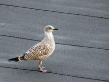 Młody Seagull zdjęcie stock