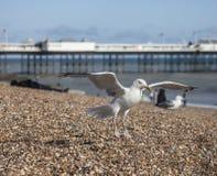 Młody seagull lądowanie na plaży w Brighton zdjęcie stock