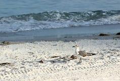 Młody Seagull na plaży Obraz Royalty Free