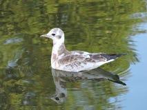 Młody seagull ptak fotografia stock