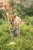Młody serval ochrania jego posiłek Zdjęcie Royalty Free