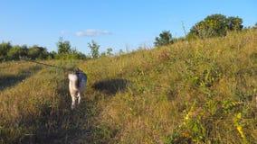 Młody siberian husky pies ciągnie smycz podczas gdy chodzący wzdłuż śladu przy polem na zmierzchu Piękny zwierze domowy iść zbiory