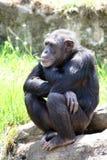 młody siedzących szympansów Zdjęcie Stock