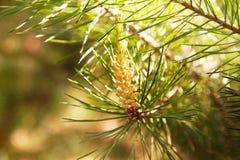 Młody sosna pączka rożek Sosnowy cynaderki fotografia stock
