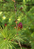 Młody sosna rożek z kwiatonośnym pollen Zdjęcia Royalty Free