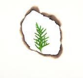 Młody sosnowy liść w dziurze burnt Zdjęcia Royalty Free