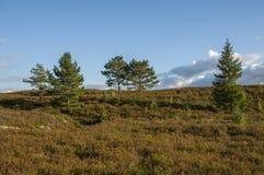 Młody sosny i świerczyny dorośnięcie na skłonie wzgórze zakrywający z wrzosem Fotografia Stock