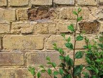 Młody sprig wiąz «Ulmus nieletni «z zielonym ulistnieniem przeciw brąz ścianie z cegieł fotografia stock