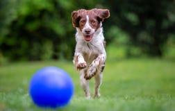 Młody springera spaniel ma zabawę goni błękitną piłkę przez gazon obrazy royalty free