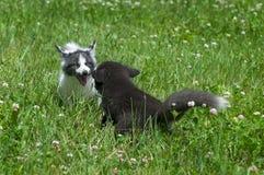Młody Srebny Fox Fox i marmur Bawić się w koniczynie (Vulpes vulpes) Zdjęcia Stock