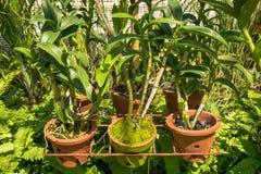 Młody storczykowy kwiatu dorośnięcie w garnkach przy pięknym tropikalnym ogródem Obrazy Stock