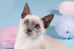 Młody Syjamski kot target108_0_ w kamerę Zdjęcia Royalty Free