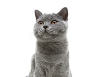 Młody szary kot z kolorem żółtym ono przygląda się na białym tła tle Zdjęcia Royalty Free