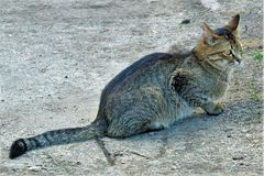 Młody szary tabby kot dostaje przygotowywający skakać Obraz Stock