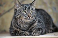 Młody tabby kota portret zdjęcia royalty free