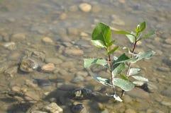 Młody topolowego drzewa dorośnięcie w jeziorze Fotografia Stock