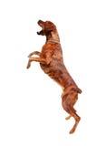 Młody trakenu, boksera psi doskakiwanie przy lotniczym/(z niektóre ruchu plamą) Zdjęcia Stock