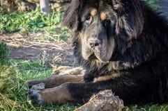 Młody Tybetański mastif Zdjęcie Royalty Free