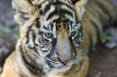 Młody tygrysa Kłaść Obrazy Stock