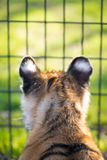 Młody Tygrysi lisiątko 2 Obrazy Stock