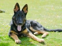 Młody uśmiechnięty niemiecki sheperd pies Zdjęcia Stock