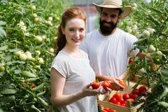 Młody uśmiechnięty rolnictwo kobiety pracownika działanie, zbiera pomidory w szklarni Zdjęcia Stock