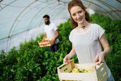 Młody uśmiechnięty rolnictwo kobiety pracownika działanie, zbiera pomidory w szklarni Fotografia Stock