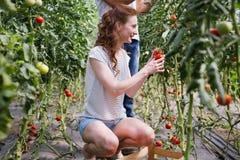 Młody uśmiechnięty rolnictwo kobiety pracownika działanie, zbiera pomidory w szklarni Zdjęcie Royalty Free